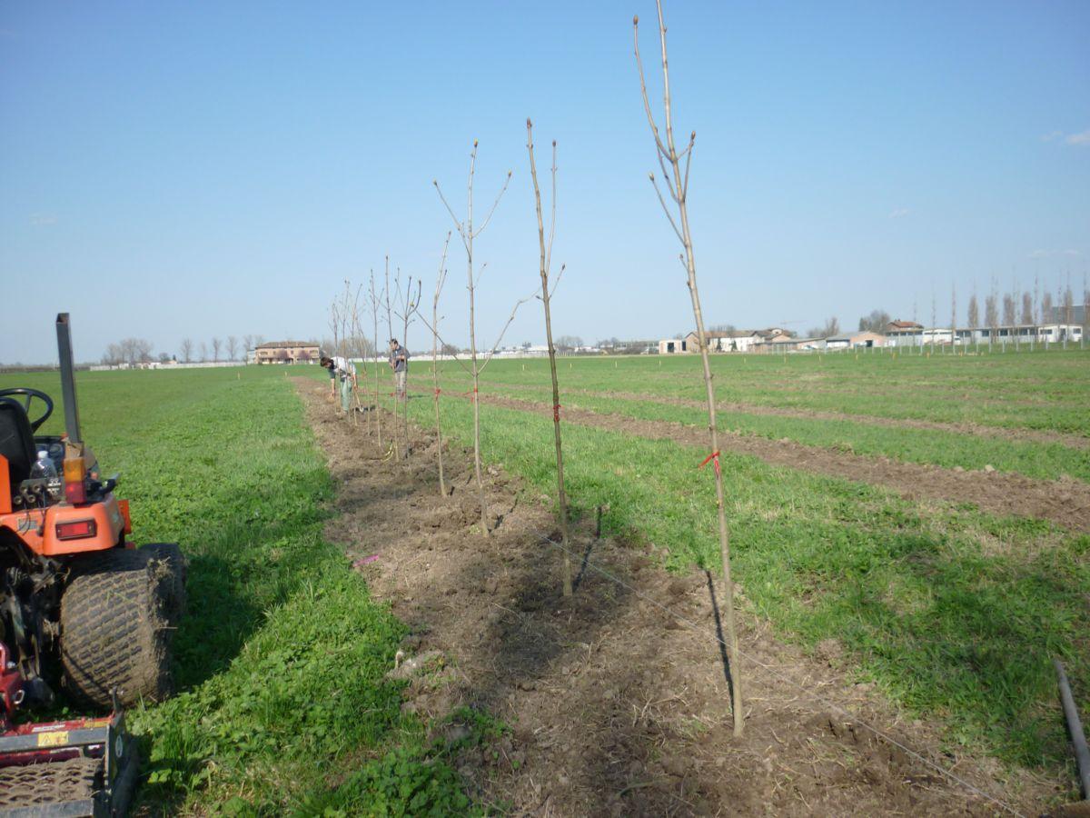 Questa è la fila degli ippocastani piantati nel nostro vivaio